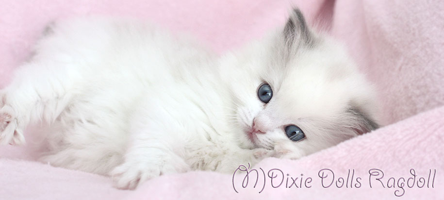 Dixie Dolls Ragdoll